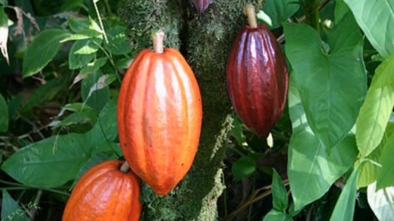 What Is The Difference Between Cacao and Cocoa?
